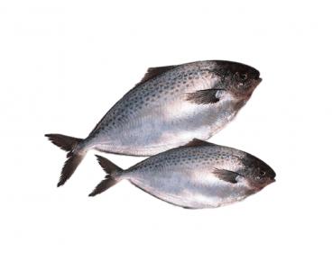 Свежемороженая Рыба Пампанита 150/250 б/г Freiremar с/м